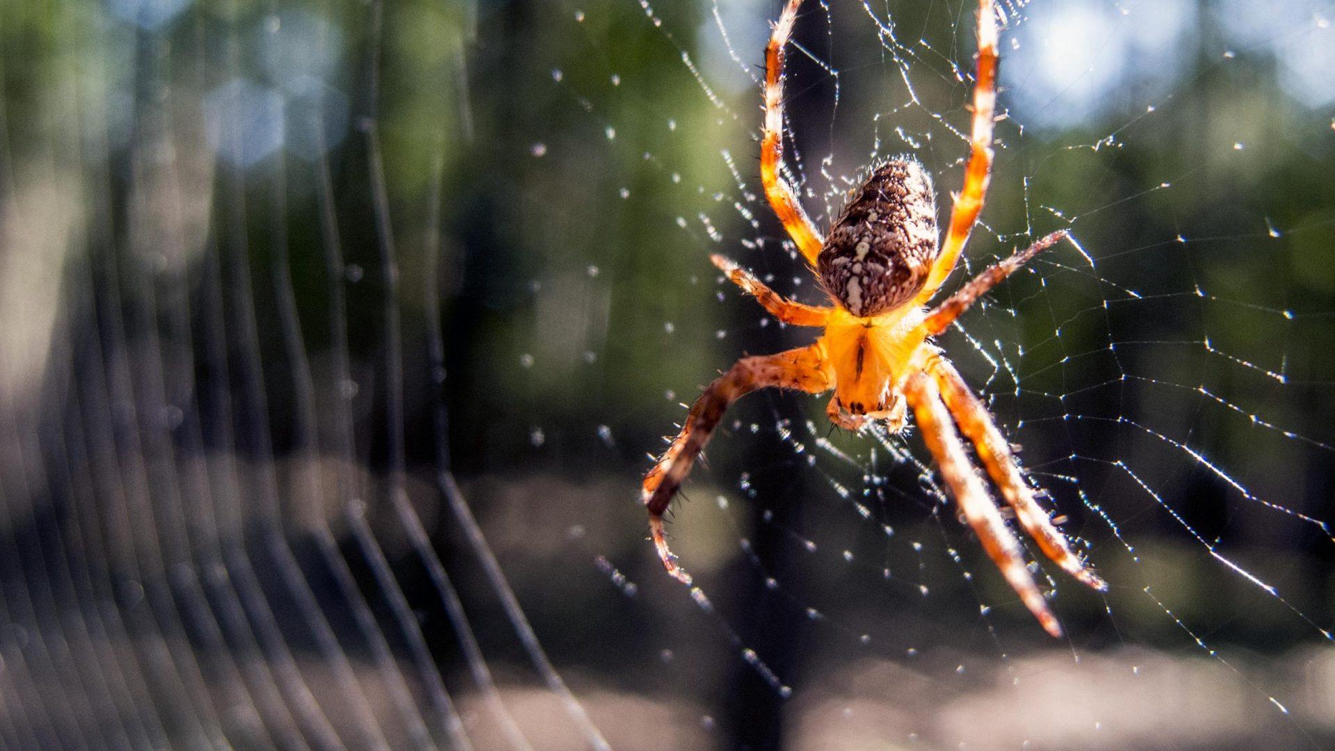 Araignée dans sa toile